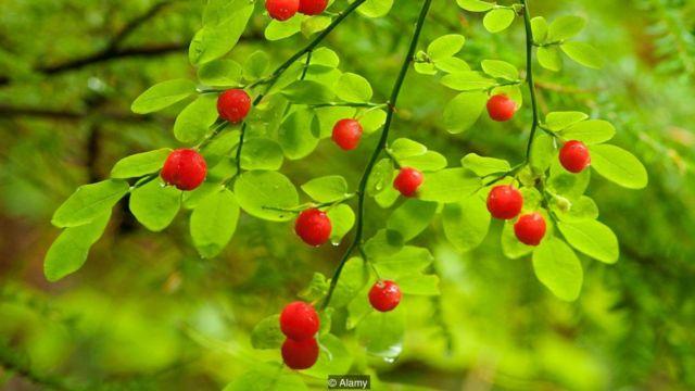 A pesar de estar intentándolo desde hace siglo, el arándano conocido como huckleberry no se ha podido domesticar. (Foto: Alamy)