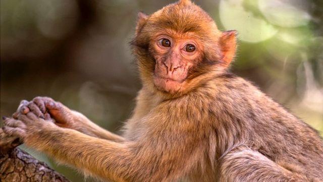 Un petit singe rouge dans une forêt près de Azrou dans les montagnes de l'Atlas