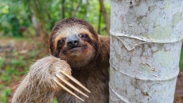 Bicho-preguiça pendurado em tronco