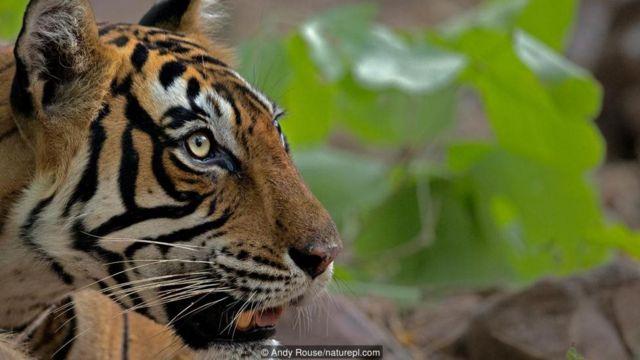 बांग्लादेश में बाघ