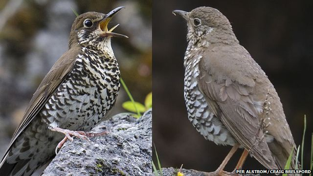 forest and alpine thrushes
