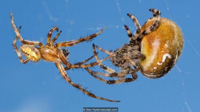 Laba-laba orb-weaver jenis four-spot (Araneus quadratus) jantan dan betina.