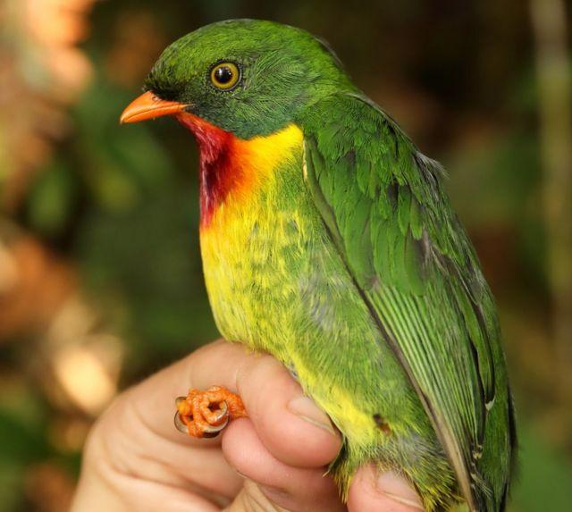 ムネアカミドリカザリドリは、ペルー・パンティアコッラ山の高地に生息する