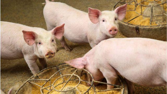 Pigs on a farm in Bijie, Guizhou, China.