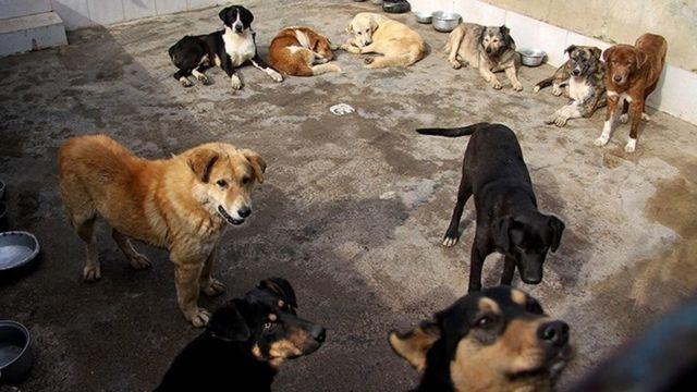 جمع آوری سگ های ولگرد