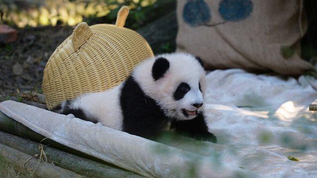 A giant panda in Chengdu