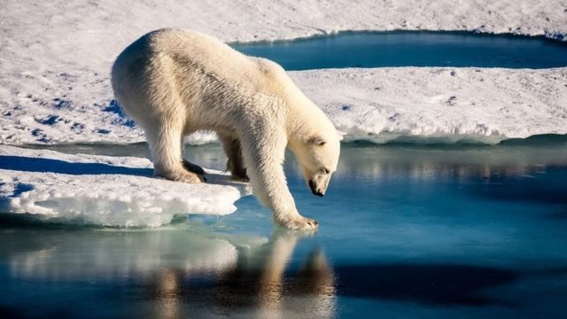 A polar bear carefully touching the sea surface, trying to walk across a melting sheet of ice in the Arctic Ocean
