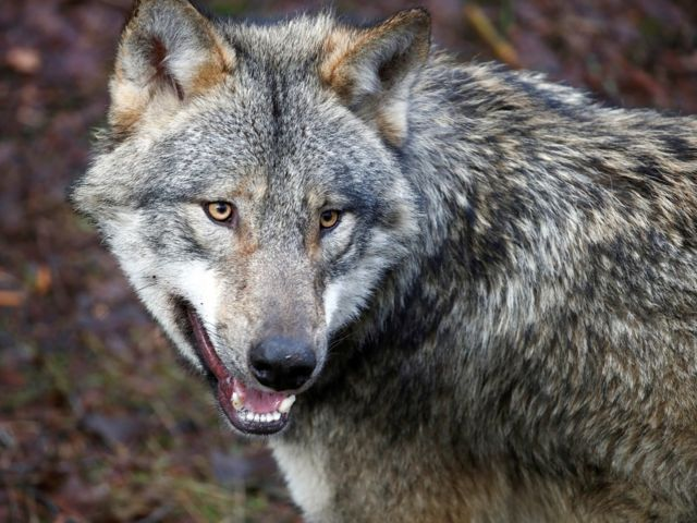 A wolf is seen in the wildlife Park Schorfheide near Gross Schoenebeck, Germany, March 12, 2019