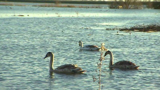 Swans on flood Welney Washes