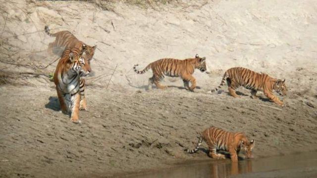 ภาพถ่ายจากกล้องดักเสือ อุทยานแห่งชาติบาร์เดีย ประเทศเนปาล