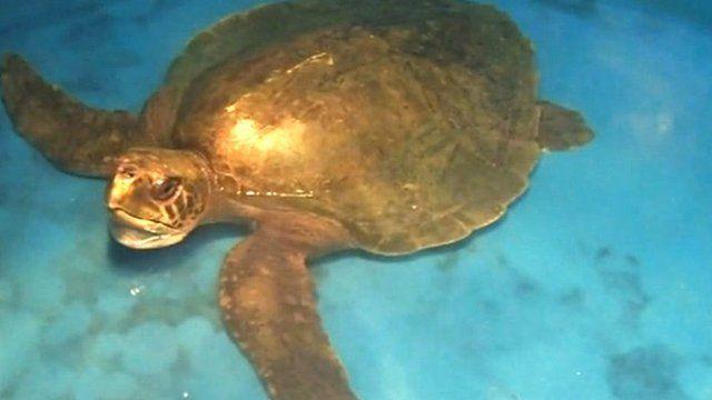 'Menai' the turtle at Anglesey Sea Zoo
