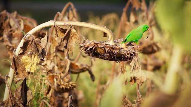 Periquito posado comiendo semillas de una flor de girasol