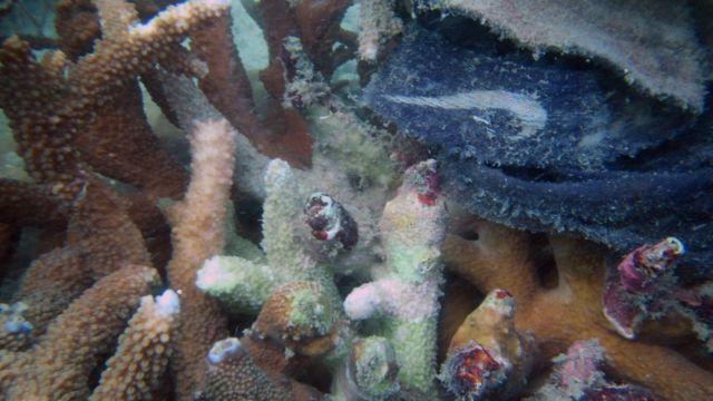 แนวปะการังติดเชื้อ มีพลาสติกติดอยู่