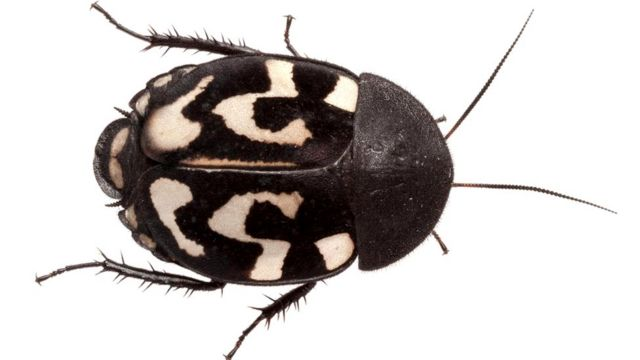 Шахматный таракан (Therea olegrandjeani)
