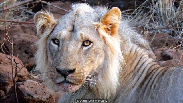 Leão no Parque Nacional de Meru