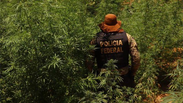 Policial federal em meio à plantação de maconha