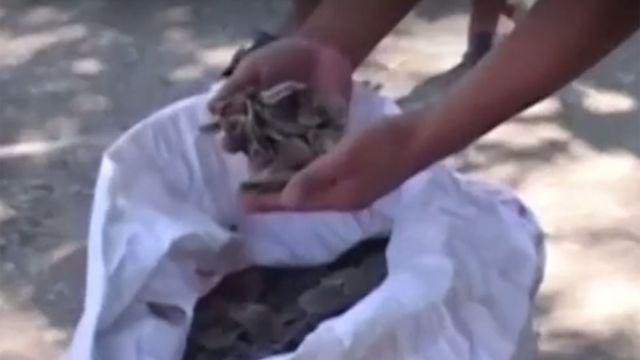 Pessoa mexe em saco com escamas de pangolins