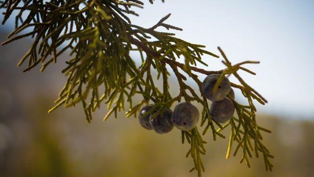 صنوبر کا پودا