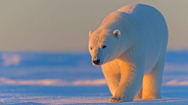 Arktik Yabani Hayatı Koruma Bölgesi'nde bir kutup ayısı