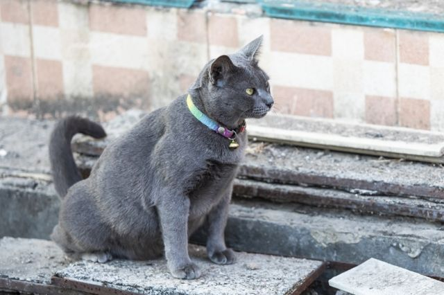 siva mačka