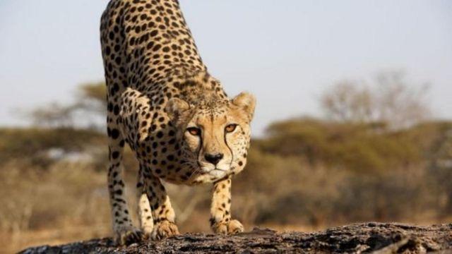 مادہ چیتا