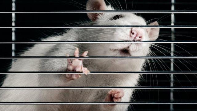 चूहों को पकड़ने के लिए नए पर्यावरण मित्र पिजरो को बागों में लगाया जा रहा है