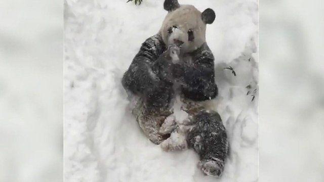 ジャイアントパンダの「ティアンティアン」(甜甜)が大雪に大喜び
