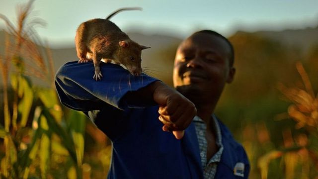 Cambodia landmine detection rat awarded miniature gold medal for 'lifesaving bravery'