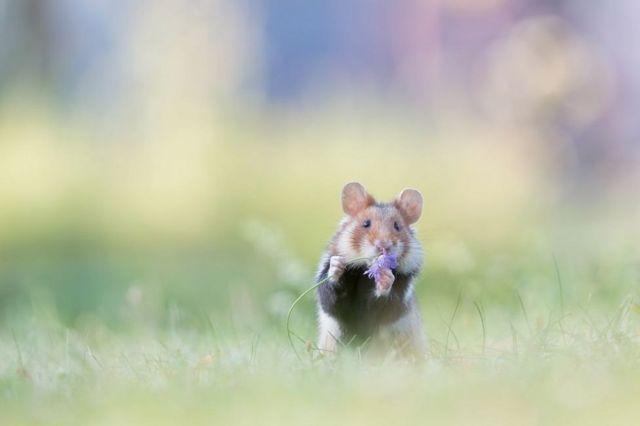 Hamster liar mencium bunga di Wina, Austria, difoto oleh Henrik Spranz.