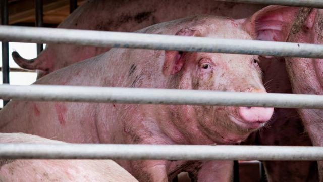 이번에 발견된 새로운 독감 바이러스는 2009년 전 세계적으로 퍼진 돼지독감과 유사하다