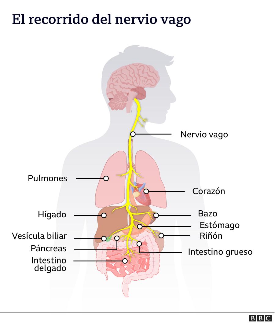 Recorrido del nervio vago en el cuerpo humano.