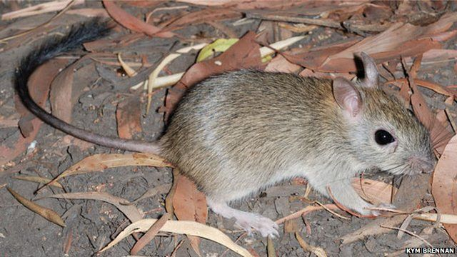 The brush-tailed rabbit-rat, a mammal species native to Australia that is listed as a near-threatened species by the International Union for Conservation of Nature