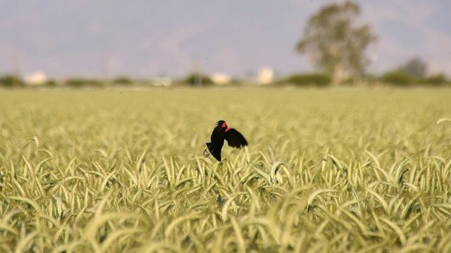 A bird comes in for a landing on a stalk of wheat amid a wheat field March 29, 2015 in Kern County, California, which became the nation's number 2 crop county for the first time in 2013.