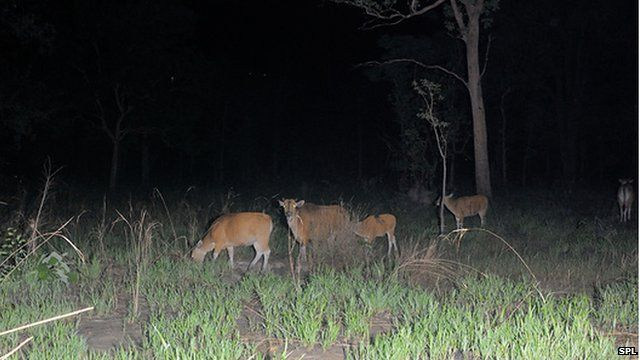 The banteng is found in the forests of Cambodia