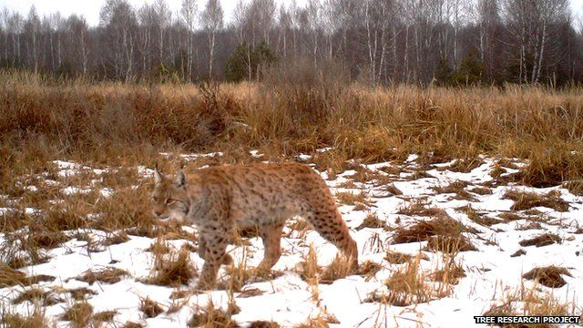 Lynx (Image courtesy of the Tree research project)