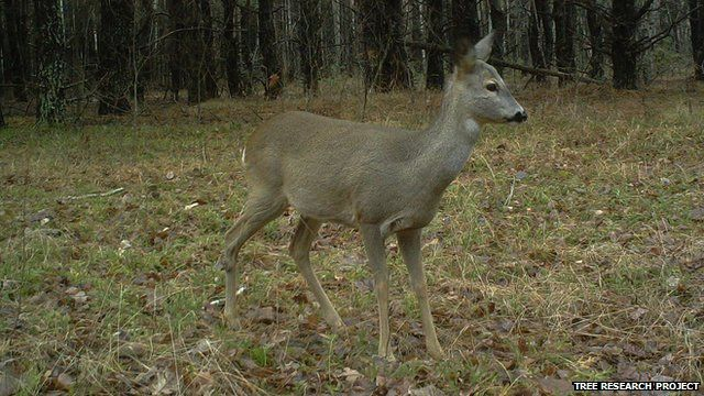 Roe deer (Image courtesy of the Tree research project)