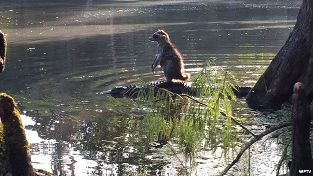 Racoon on the back of an alligator