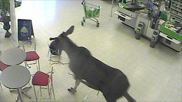 The moose caught on CCTV