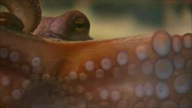 "Paul the ""psychic"" octopus"