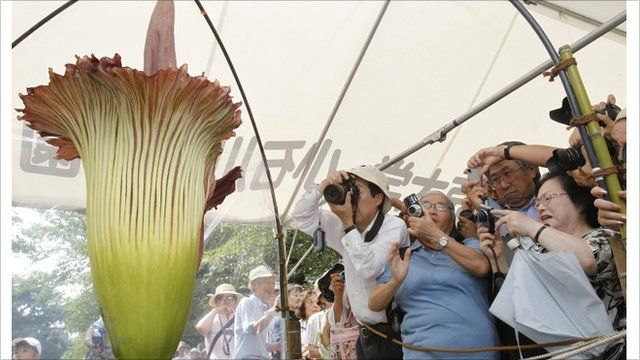 People take pictures of a Titan Arum