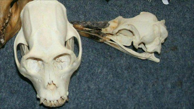 Howler monkey skull