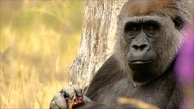 Gorilla at London Zoo