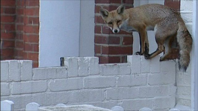 A fox on a wall