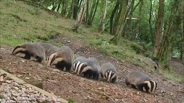A group of badgers
