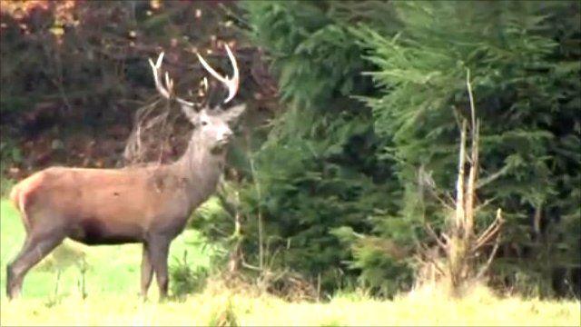 The Emporer stag