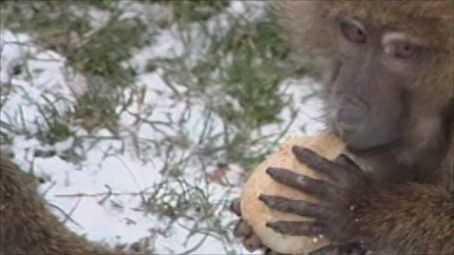 Baboon in snow