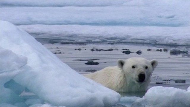 polar bear spy on the ice reveals stealth of the hunt. Black Bedroom Furniture Sets. Home Design Ideas