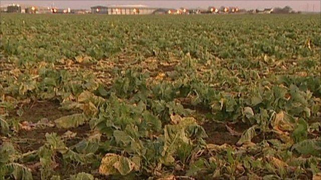 A field of cauliflowers