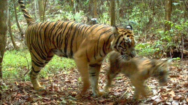 Tiger cub and mother