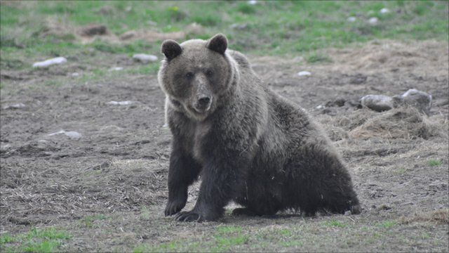 "A ""problem bear"" in Slovakia"